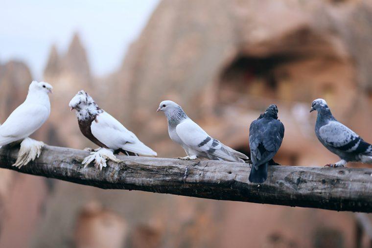 Kapadokya Güvercinleri