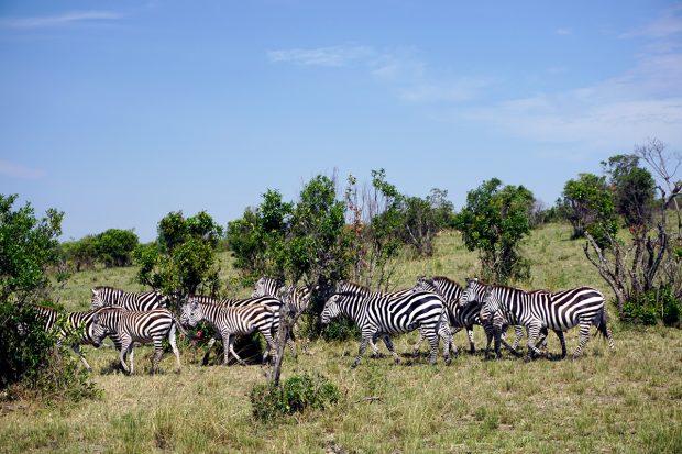 Bir Afrika Rüyası: Maasai Mara 'da Safari